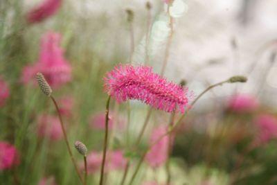 burnet (Sanguisorba obtusa)