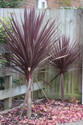 cabbage tree (Cordyline australis 'Red Star')