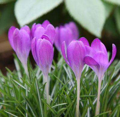 crocus bulbs (Crocus tommasinianus 'Whitewell Purple')