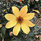 1x Bronze Leaf Dahlia 'Bishop of York' Summer Flowering Bulb