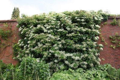 climbing hydrangea (Hydrangea anomala subsp. petiolaris)