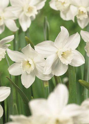 Narcissi Miniature Tresamble - 15 Bulbs