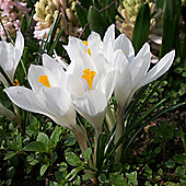 60 x Crocus 'Jeanne d'Arc' Bulbs - Perennial Spring Flowers (Corms)