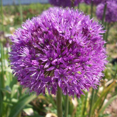 10 x Allium Hollandicum Aflatunense Bulbs - Perennial Spring Flowers