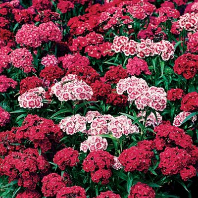 Dianthus barbatus 'Indian Carpet' Mixed - 48 plugs