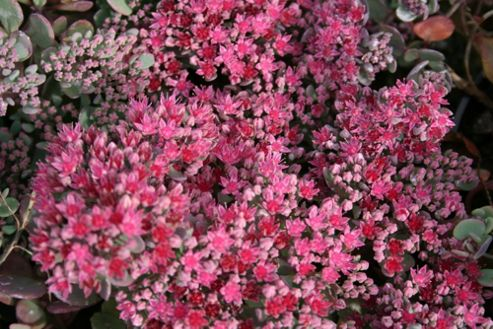 ice plant (Sedum 'Bertram Anderson')