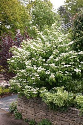 Japanese snowball bush (Viburnum plicatum 'Mariesii')