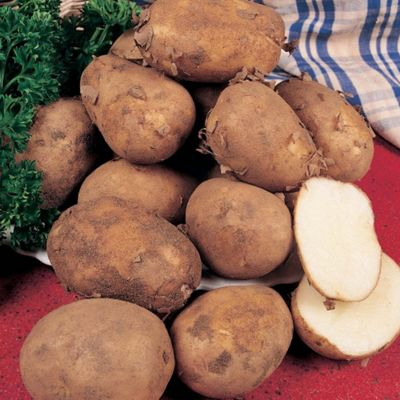 Potato 'Pentland Javelin' - 10 tubers