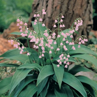 Lily of the Valley (Pink) - 3 plant pips