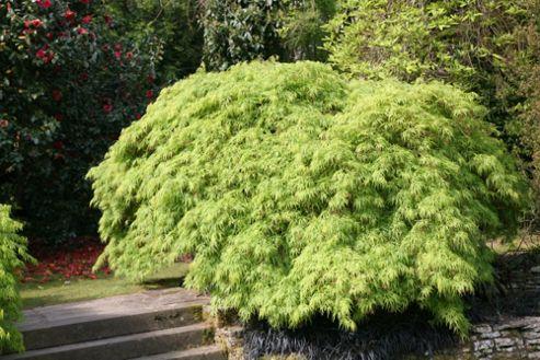 Japanese maple (Acer palmatum var. dissectum)