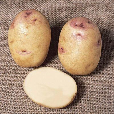 Potato 'Kestrel' (Exhibitor) - 10 tubers