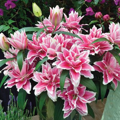 2x Large 'Samantha' Roselily Double Flowering Lily Summer Bulbs