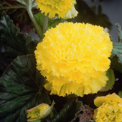 6 x Yellow Fimbriata Begonia Bulbs - Perennial Summer Flowers (Tubers)