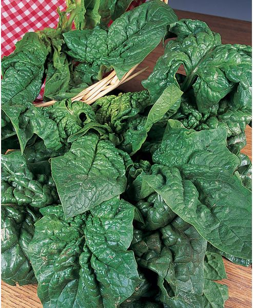 spinach (spinach 'Giant Winter')