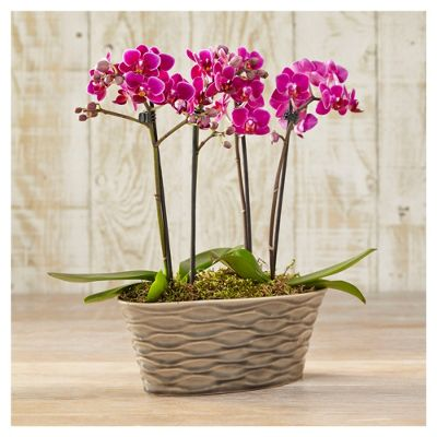 buy finest phalaenopsis orchid planter from our all. Black Bedroom Furniture Sets. Home Design Ideas