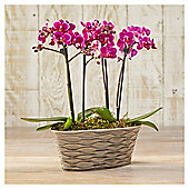 Finest Phalaenopsis Orchid Planter