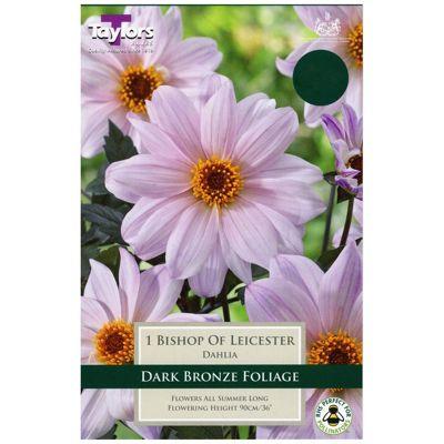 1x Bronze Leaf Dahlia 'Bishop of Leicester' Summer Flowering Bulb