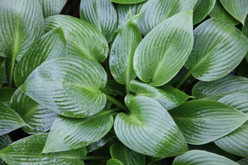 plantain lily (Hosta 'Devon Green')