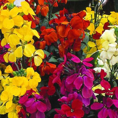 Wallflower 'Most Scented' Mix - 36 plugs