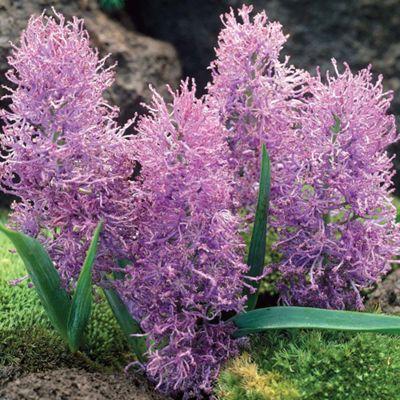 Feather Grape Hyacinth - 30 bulbs