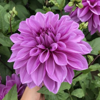 1x Dinner Plate Dahlia 'Arthur Hambley' Summer Flowering Bulb