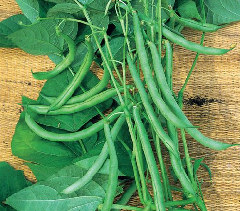 French bean (climbing French bean 'Blue Lake')