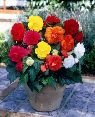 begonia bulbs (Begonia mixed doubles)