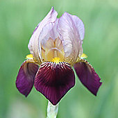 1 x Bearded Iris Germanica 'Indian Chief' Bulb - Perennial Cottage Garden Summer Flowers (Roots)