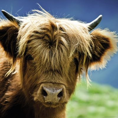 Highland Cow - 1000pc Puzzle