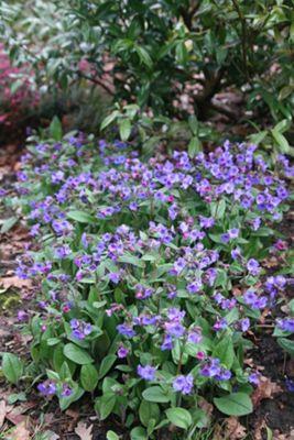 lungwort (Pulmonaria 'Blue Ensign')