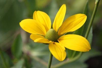 coneflower (Rudbeckia laciniata 'Herbstsonne')