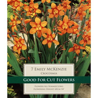 15 x Crocosmia 'Emily McKenzie' Bulbs - Perennial Orange Montbretia Summer Flowers (Corms)