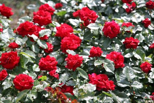 rose Ruby Anniversary (patio) (Rosa Ruby Anniversary ('Harbonny') (PBR))