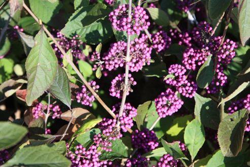 beauty berry (Callicarpa bodinieri var. giraldii 'Profusion')