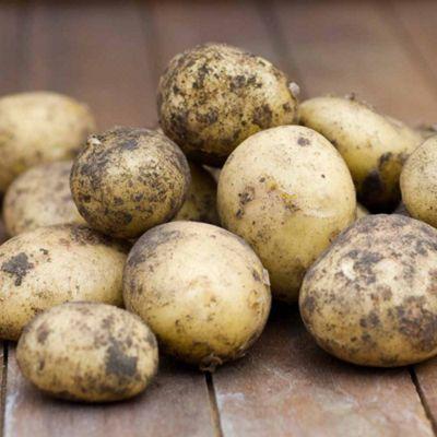 Potato 'Belana' - 5 tubers