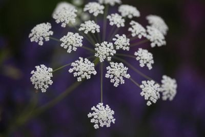 bishop's weed (Ammi majus)