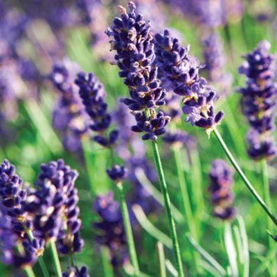 Lavender 'Munstead' - 12 plugs