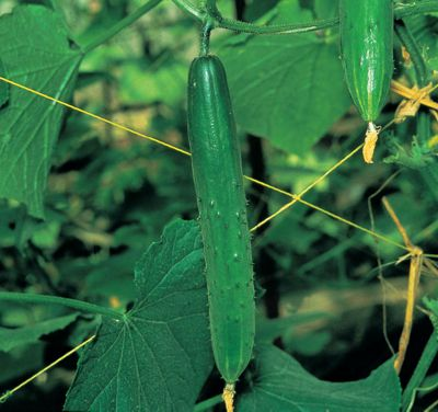 cucumber (cucumber 'Burpless Tasty Green' F1)
