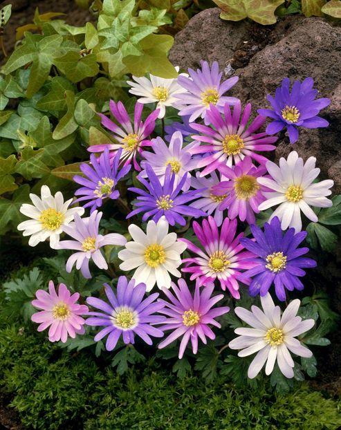 wood anemone bulbs (Anemone blanda 'Mixed')