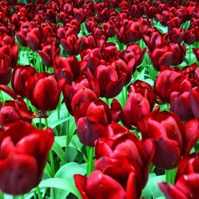 20 x Tulip 'National Velvet' Bulbs - Perennial Spring Flowers