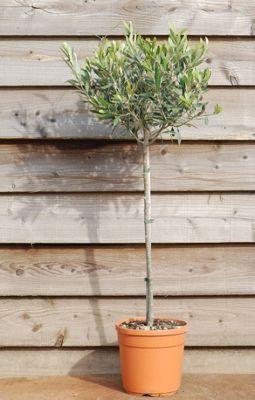 olive tree - (mini 1/2 standard) (Olea europaea)