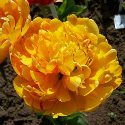 20 x Tulip 'Sun Lover' Bulbs - Perennial Spring Flowers