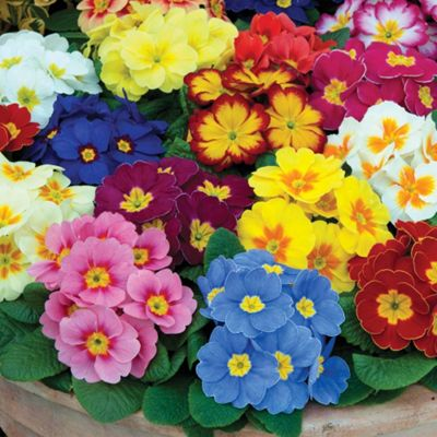 Primrose 'Alaska Improved Mixed' - 72 plugs