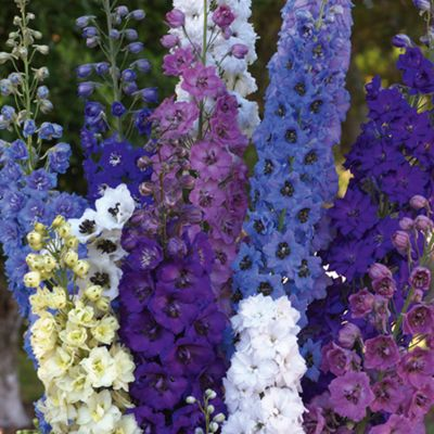 Delphinium 'Rising Stars Mixed' - 4 Postiplugs