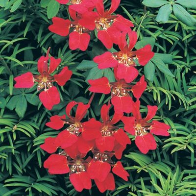 buy tropaeolum speciosum 4 bareroot plants from our all. Black Bedroom Furniture Sets. Home Design Ideas