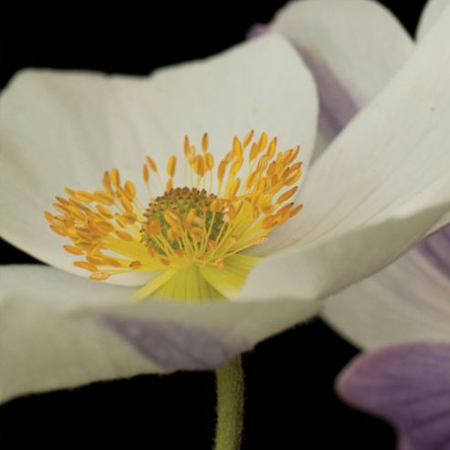 Anemone 'Wild Swan' - 2 x 7cm potted plants