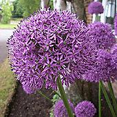 3 x Allium 'Gladiator' Bulbs - Perennial Spring Flowers