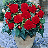 3 x Red Double Flowered Begonia Bulbs - Perennial Summer Flowers (Tubers)