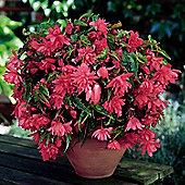 6 x Pink Pendula Begonia Bulbs - Perennial Summer Flowers (Tubers)