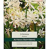3 x Nerine 'Ostara' Bulbs - Pale Pink Guernsey Lily Autumn Flowers